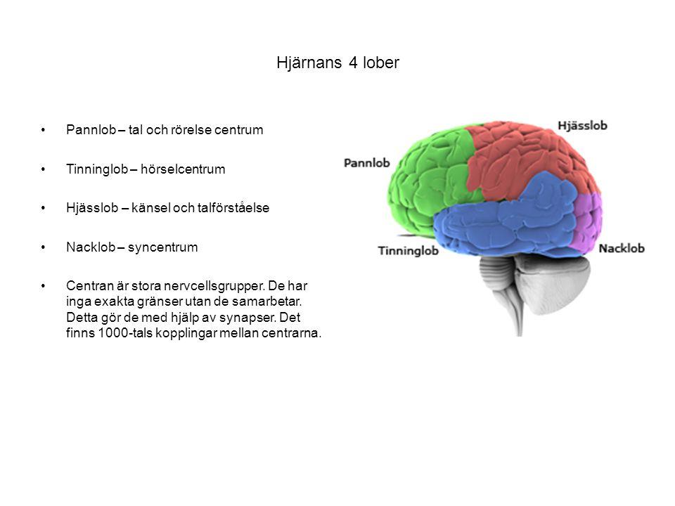 Hjärnans 4 lober Pannlob – tal och rörelse centrum Tinninglob – hörselcentrum Hjässlob – känsel och talförståelse Nacklob – syncentrum Centran är stor