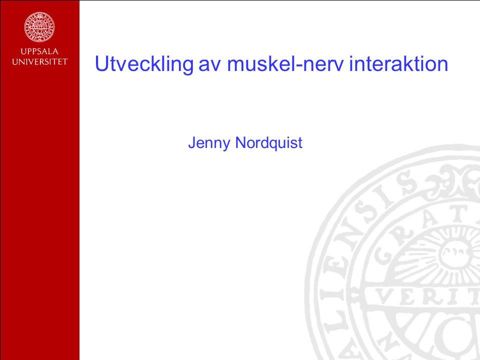 Utveckling av muskel-nerv interaktion Jenny Nordquist