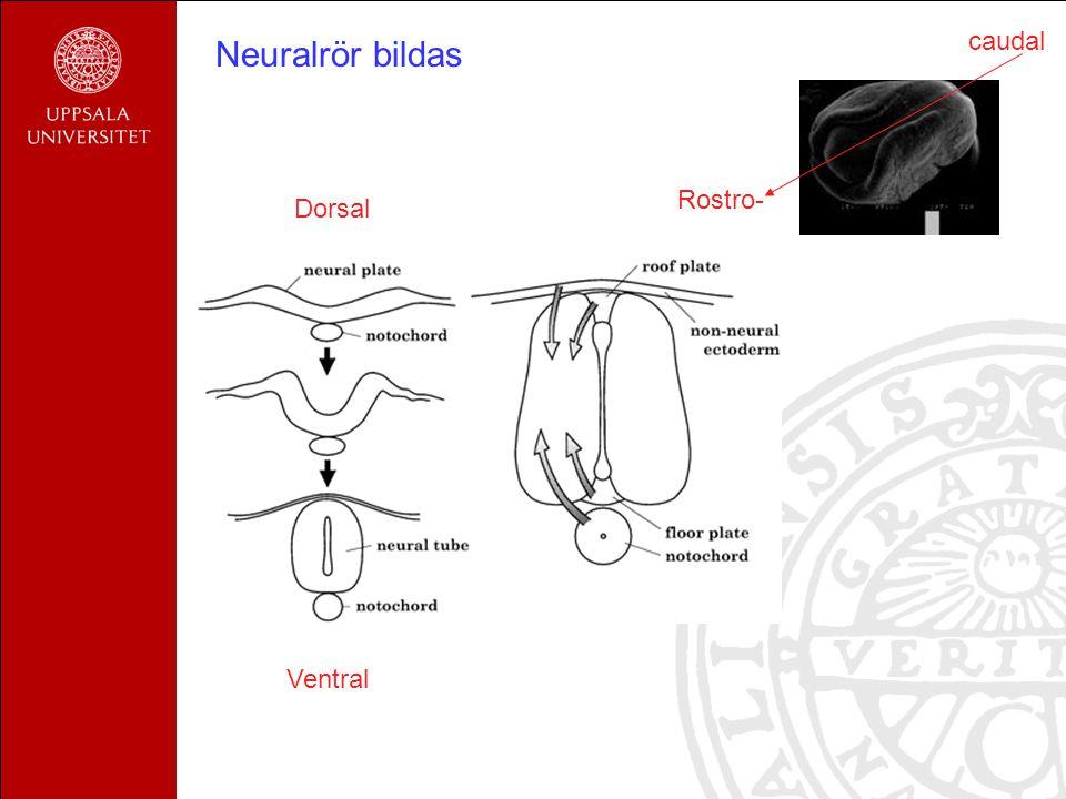 Neuralrör bildas Rostro- caudal Dorsal Ventral