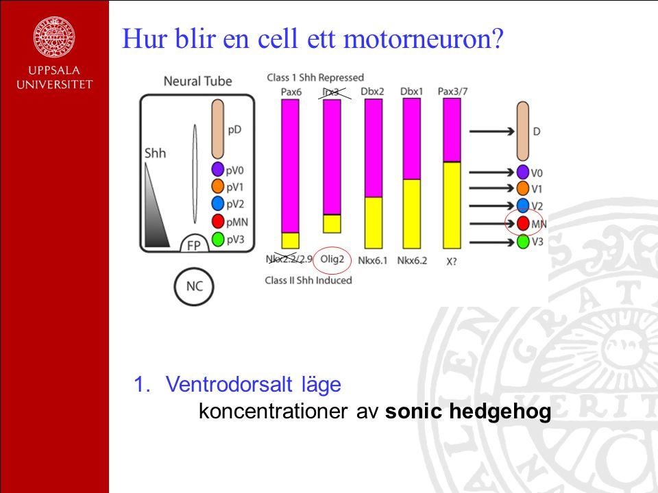 2.Läge i rostrocaudal nivå koncentrationer av FGF, retinolsyra Hur blir en cell ett motorneuron?