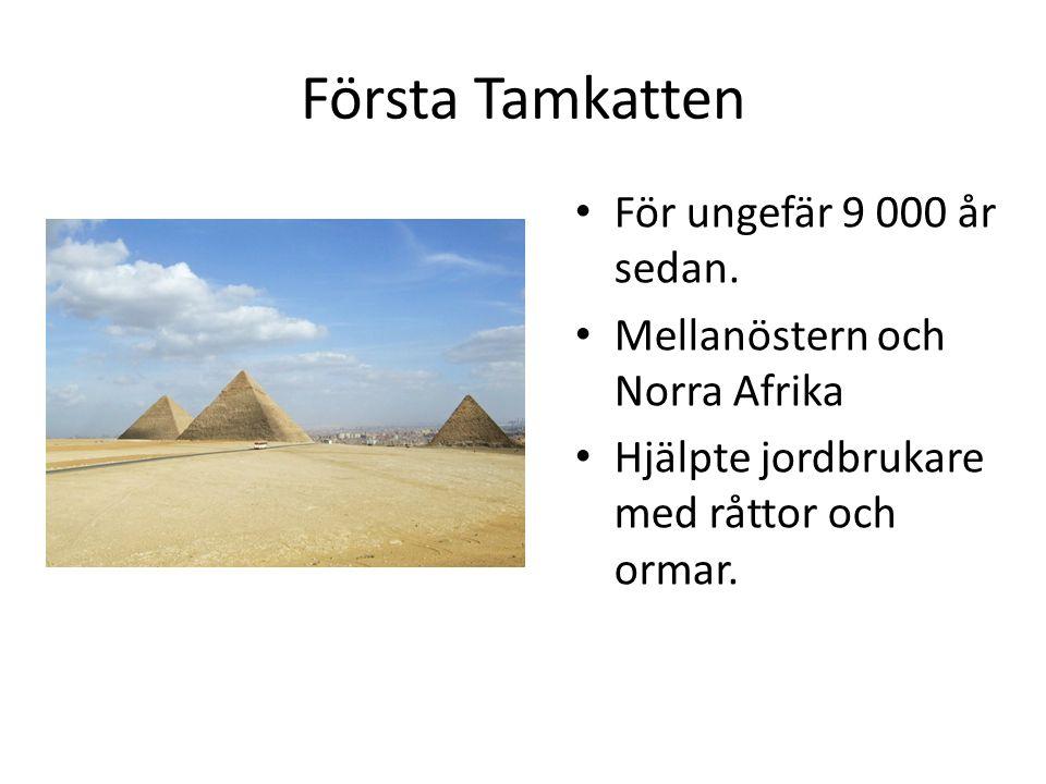 Första Tamkatten För ungefär 9 000 år sedan.