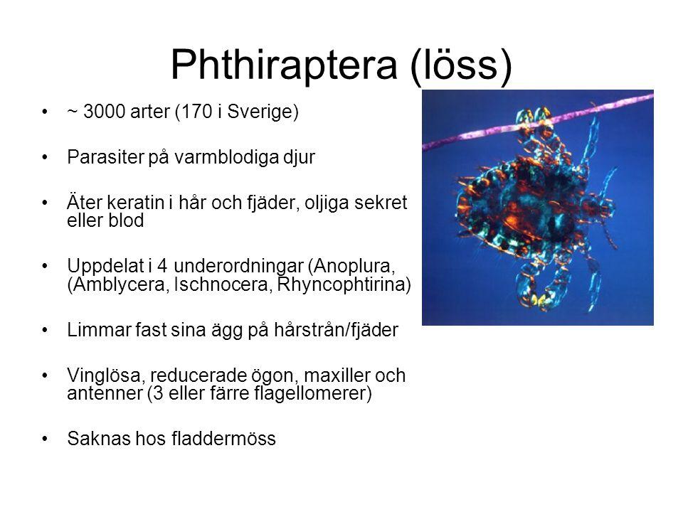 Phthiraptera (löss) ~ 3000 arter (170 i Sverige) Parasiter på varmblodiga djur Äter keratin i hår och fjäder, oljiga sekret eller blod Uppdelat i 4 underordningar (Anoplura, (Amblycera, Ischnocera, Rhyncophtirina) Limmar fast sina ägg på hårstrån/fjäder Vinglösa, reducerade ögon, maxiller och antenner (3 eller färre flagellomerer) Saknas hos fladdermöss