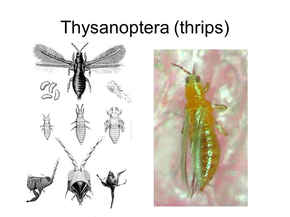 Thysanoptera (thrips)