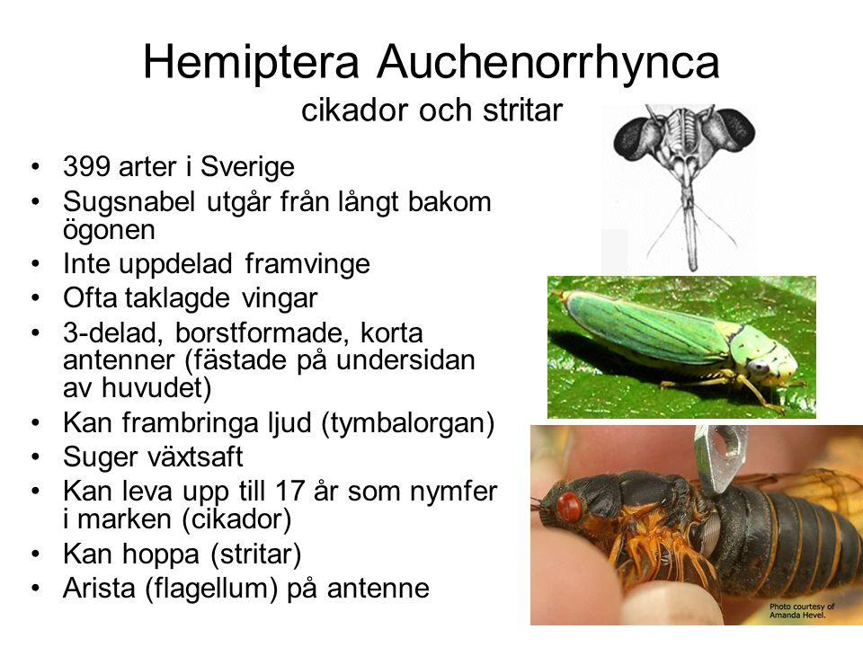 Hemiptera Auchenorrhynca cikador och stritar 399 arter i Sverige Sugsnabel utgår från långt bakom ögonen Inte uppdelad framvinge Ofta taklagde vingar 3-delad, borstformade, korta antenner (fästade på undersidan av huvudet) Kan frambringa ljud (tymbalorgan) Suger växtsaft Kan leva upp till 17 år som nymfer i marken (cikador) Kan hoppa (stritar) Arista (flagellum) på antenne