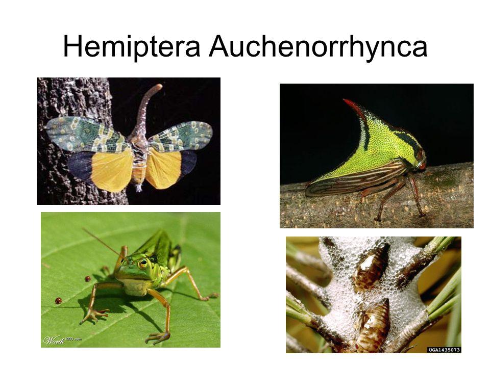 Hemiptera Auchenorrhynca