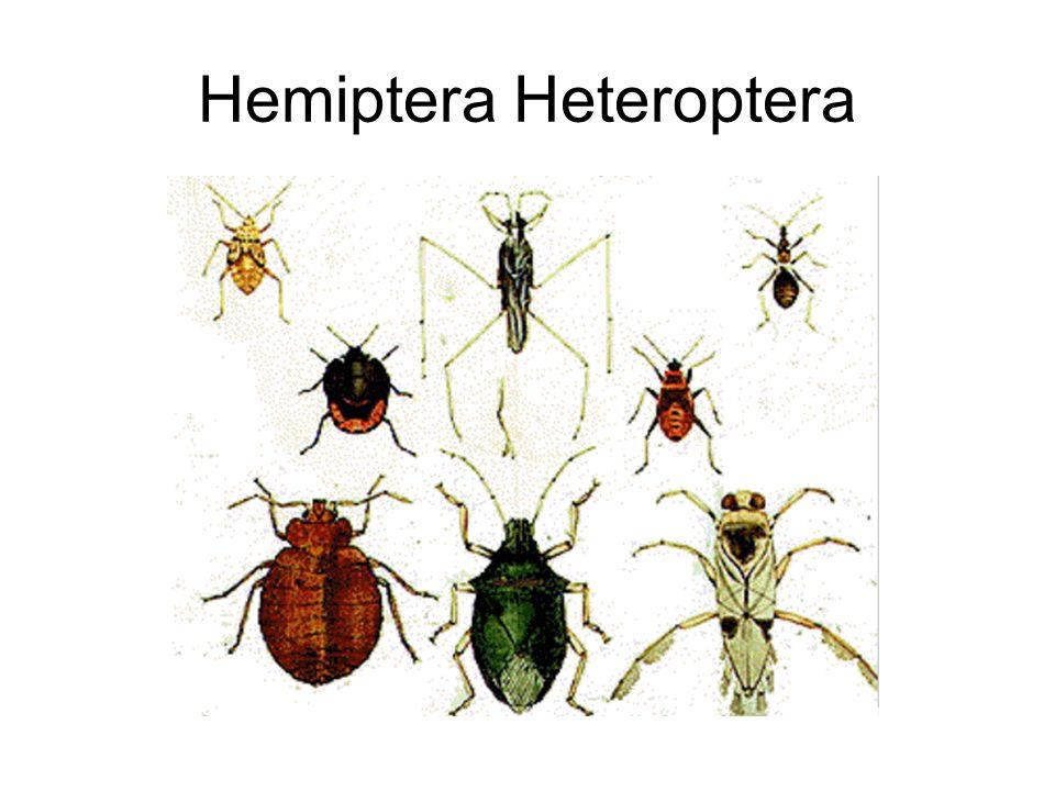 Hemiptera Heteroptera