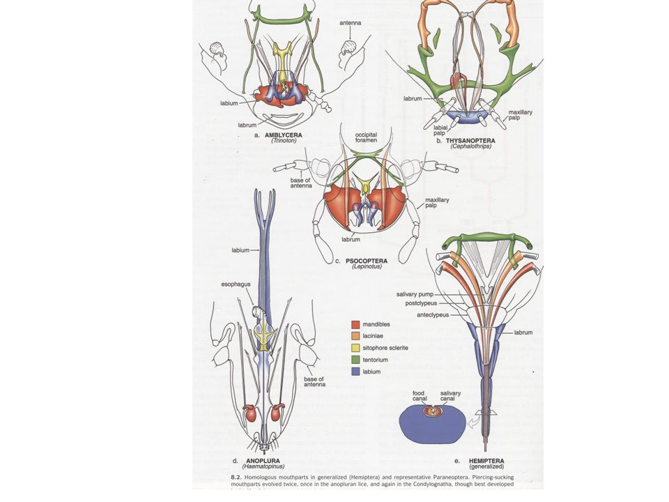 Synapomorfier Paraneoptera Forstorad postclypeus (munsköld) med tillhörande stort cibarium (sugpump) 3 eller färre tarsleder Cerci fattas Likheter i maxillens struktur (tubformade lacinia åtskilda från stipes)