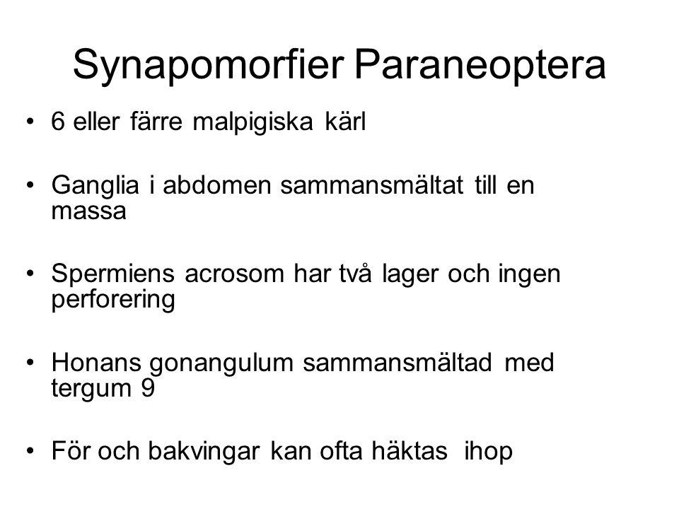 Synapomorfier Paraneoptera 6 eller färre malpigiska kärl Ganglia i abdomen sammansmältat till en massa Spermiens acrosom har två lager och ingen perforering Honans gonangulum sammansmältad med tergum 9 För och bakvingar kan ofta häktas ihop