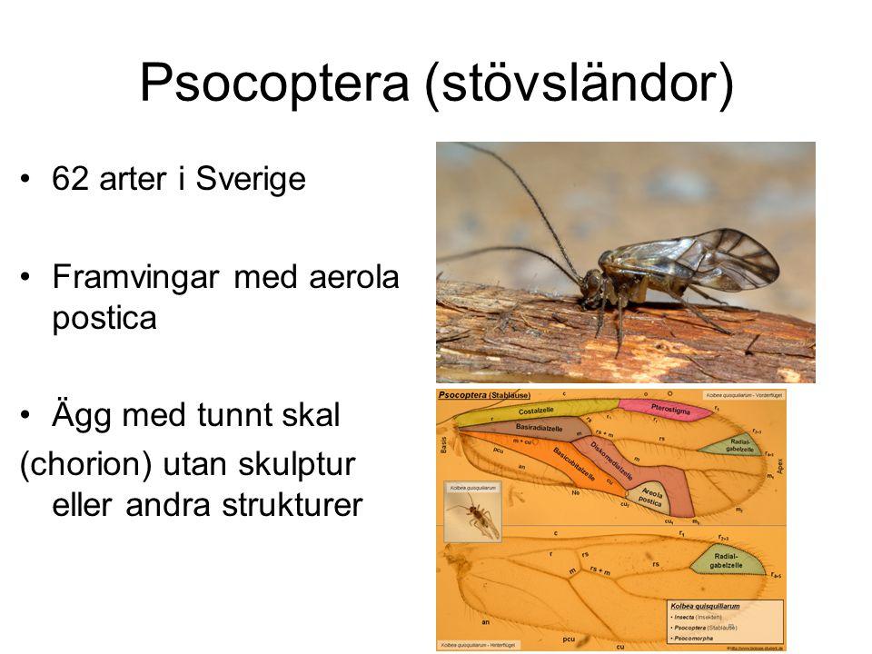 Psocoptera (stövsländor) 62 arter i Sverige Framvingar med aerola postica Ägg med tunnt skal (chorion) utan skulptur eller andra strukturer