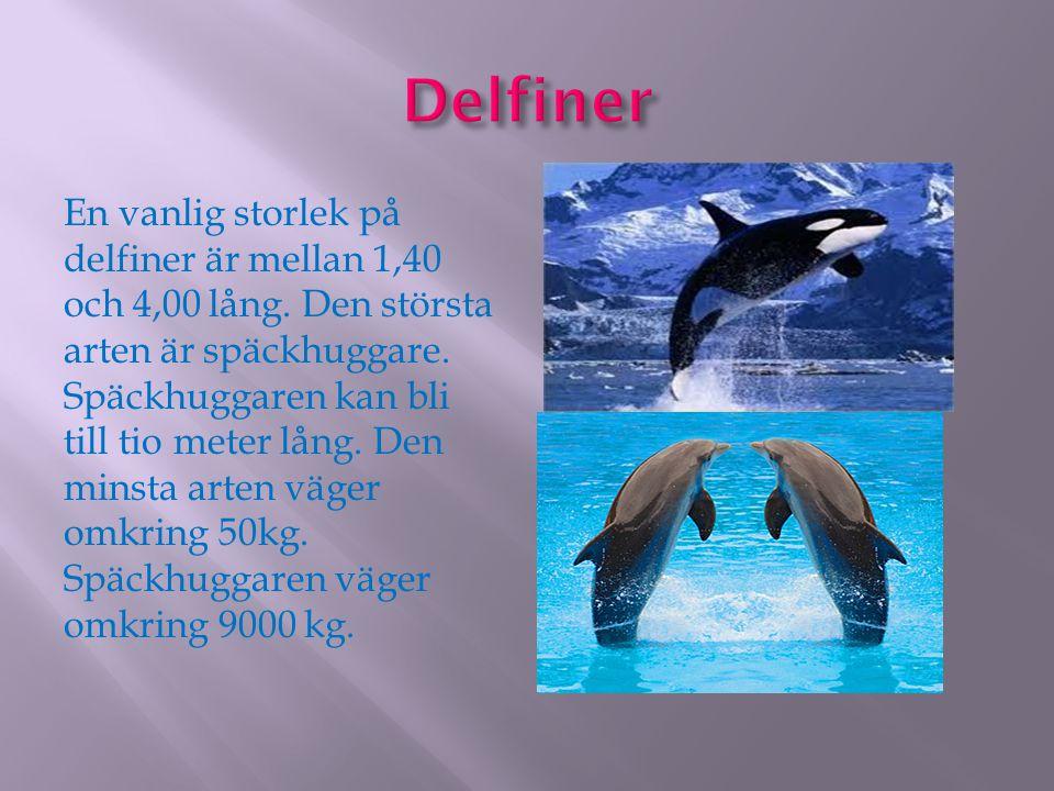 En vanlig storlek på delfiner är mellan 1,40 och 4,00 lång. Den största arten är späckhuggare. Späckhuggaren kan bli till tio meter lång. Den minsta a