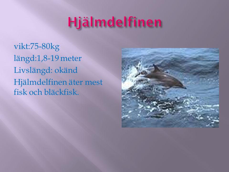 vikt:75-80kg längd:1,8-19 meter Livslängd: okänd Hjälmdelfinen äter mest fisk och bläckfisk.