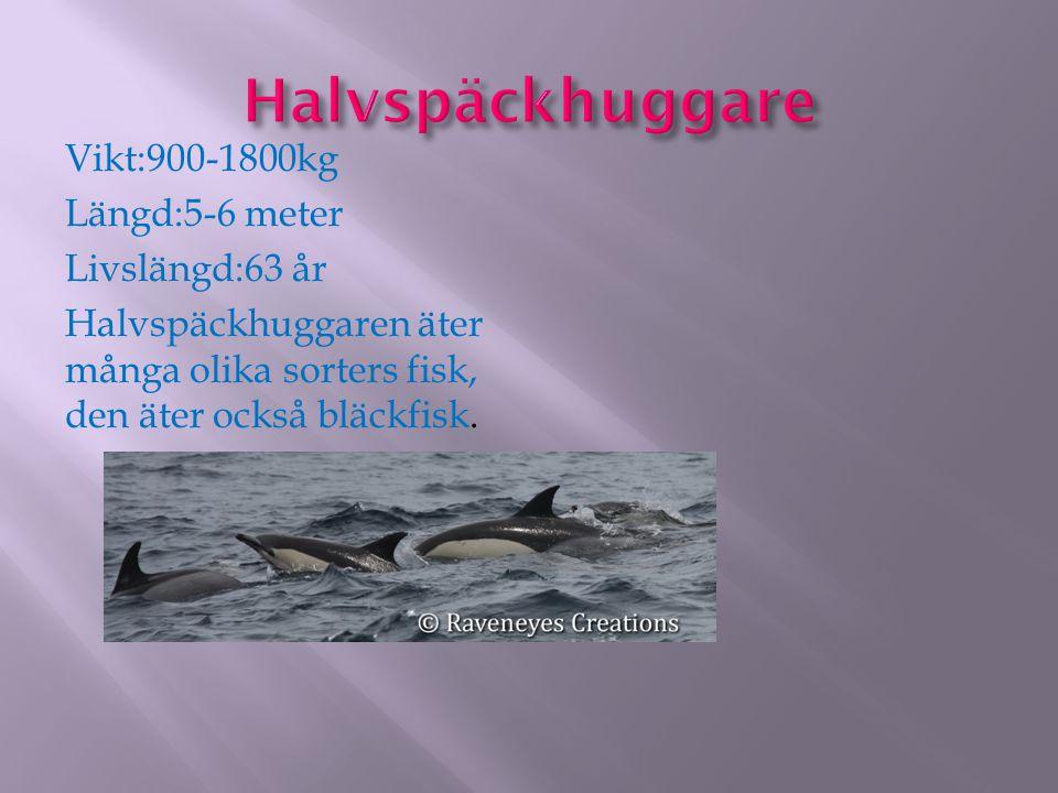 Vikt:900-1800kg Längd:5-6 meter Livslängd:63 år Halvspäckhuggaren äter många olika sorters fisk, den äter också bläckfisk.