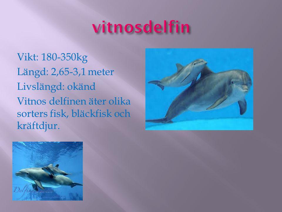 Vikt: 180-350kg Längd: 2,65-3,1 meter Livslängd: okänd Vitnos delfinen äter olika sorters fisk, bläckfisk och kräftdjur.