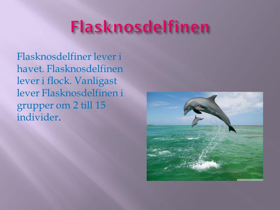 Flasknosdelfiner lever i havet. Flasknosdelfinen lever i flock. Vanligast lever Flasknosdelfinen i grupper om 2 till 15 individer.