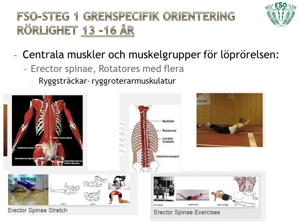 - Centrala muskler och muskelgrupper för löprörelsen: - Erector spinae, Rotatores med flera - Ryggsträckar- ryggroterarmuskulatur