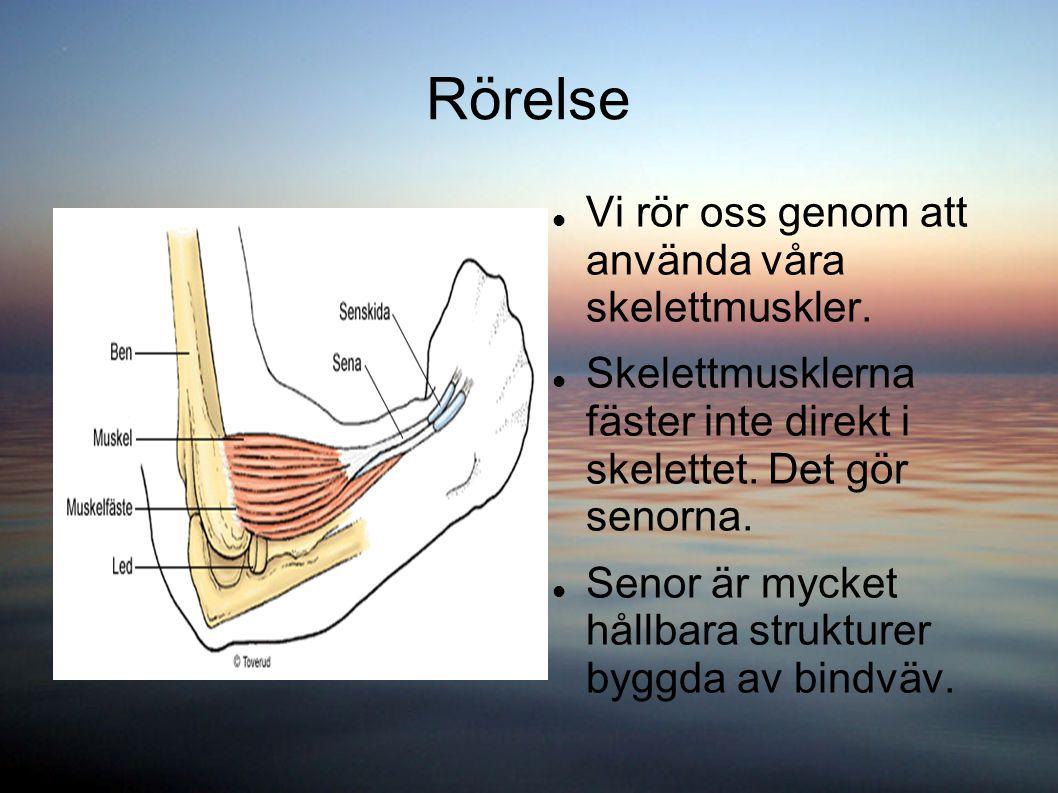 Rörelse Vi rör oss genom att använda våra skelettmuskler. Skelettmusklerna fäster inte direkt i skelettet. Det gör senorna. Senor är mycket hållbara s