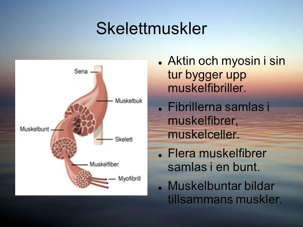 Skelettmuskler Aktin och myosin i sin tur bygger upp muskelfibriller. Fibrillerna samlas i muskelfibrer, muskelceller. Flera muskelfibrer samlas i en