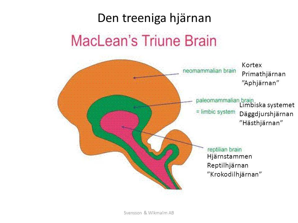 """Kortex Primathjärnan """"Aphjärnan"""" Limbiska systemet Däggdjurshjärnan """"Hästhjärnan"""" Hjärnstammen Reptilhjärnan """"Krokodilhjärnan"""" Den treeniga hjärnan"""