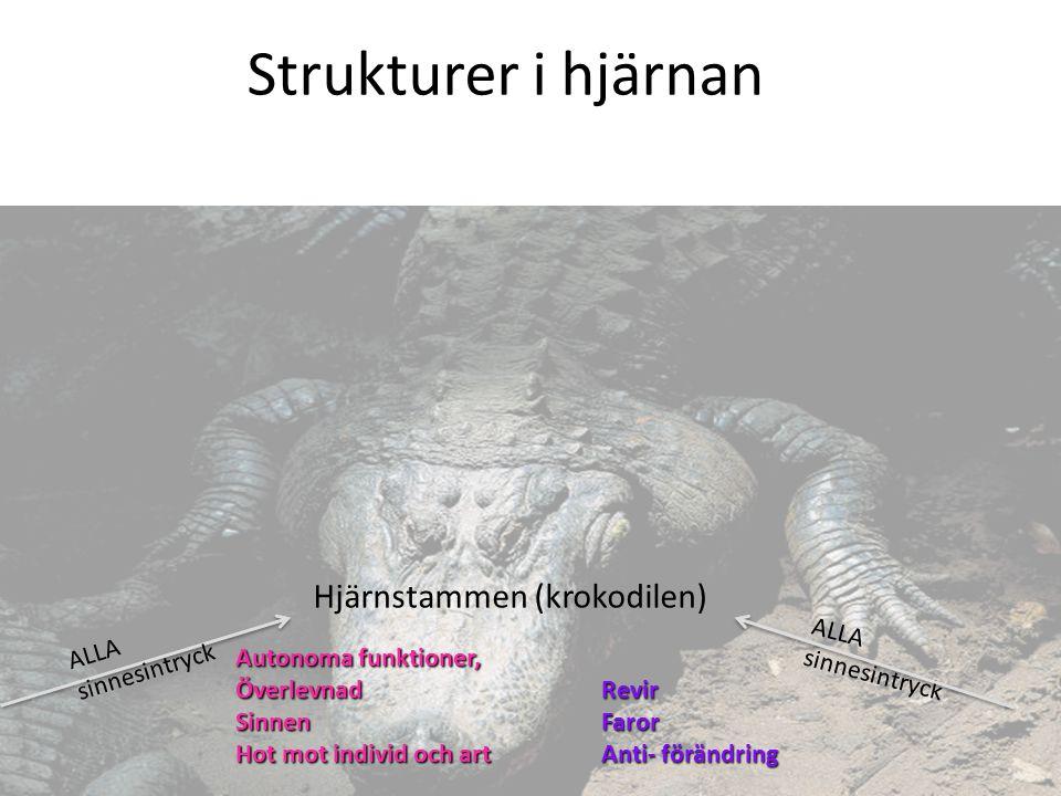 Hjärnstammen (krokodilen) Autonoma funktioner, ÖverlevnadSinnen Hot mot individ och art ALLA sinnesintryck RevirFaror Anti- förändring ALLA sinnesintr