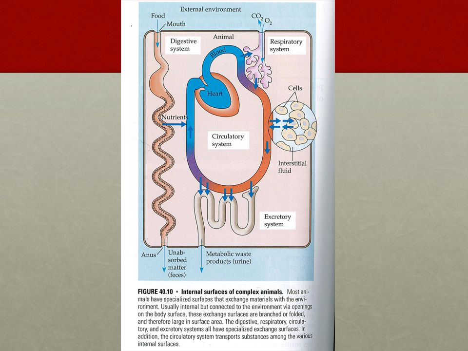 Hjärtat Blodets väg : Blodet syrsätts i lungorna.Kommer in via lungvenen i vänster förmak.