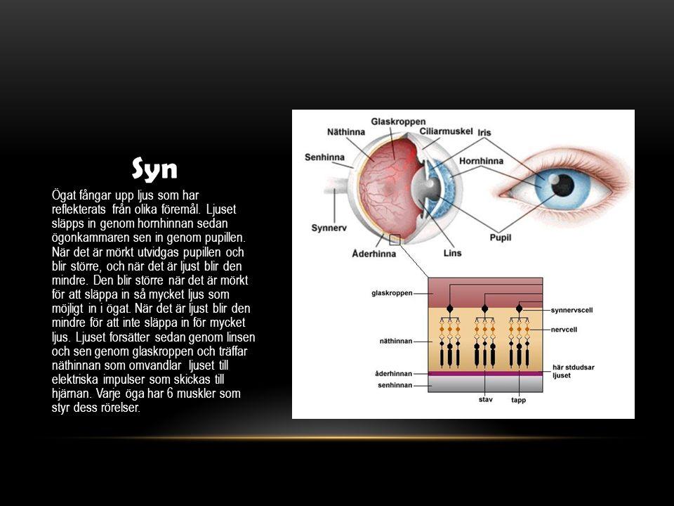 Syn Ögat fångar upp ljus som har reflekterats från olika föremål. Ljuset släpps in genom hornhinnan sedan ögonkammaren sen in genom pupillen. När det