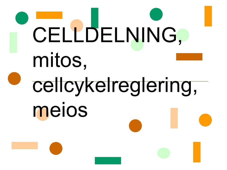 Mitos Profas – –kromosomerna kondenserar –mitotiska spolen assembleras Prometafas –kärnmembran går sönder –mitotiska spolen når kromosomerna Metafas – – kromosomerna radar upp sig i mitten Anafas –systerkromatiderna dras isär Telofas – –nya kärnmembran bildas ANIMATION