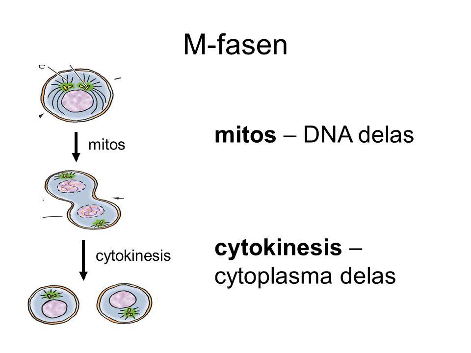 M-fasen mitos cytokinesis mitos – DNA delas cytokinesis – cytoplasma delas