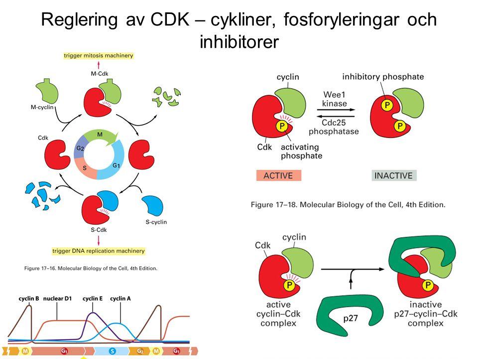 Reglering av CDK – cykliner, fosforyleringar och inhibitorer