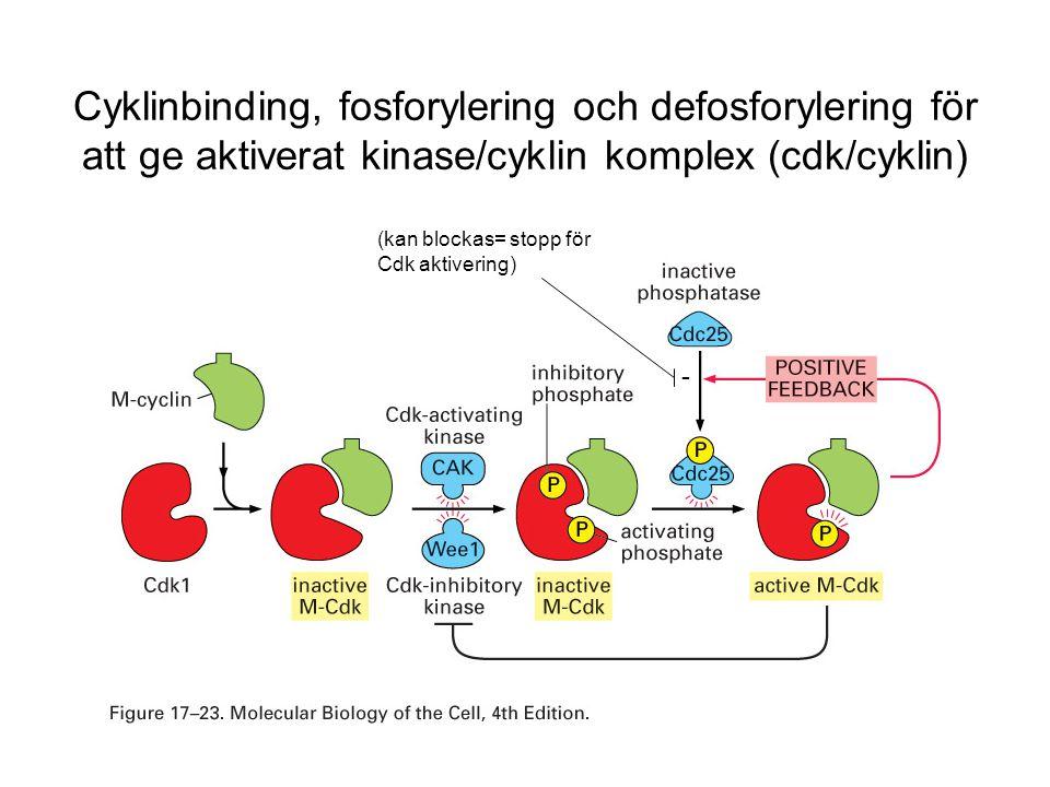 Cyklinbinding, fosforylering och defosforylering för att ge aktiverat kinase/cyklin komplex (cdk/cyklin) - (kan blockas= stopp för Cdk aktivering)