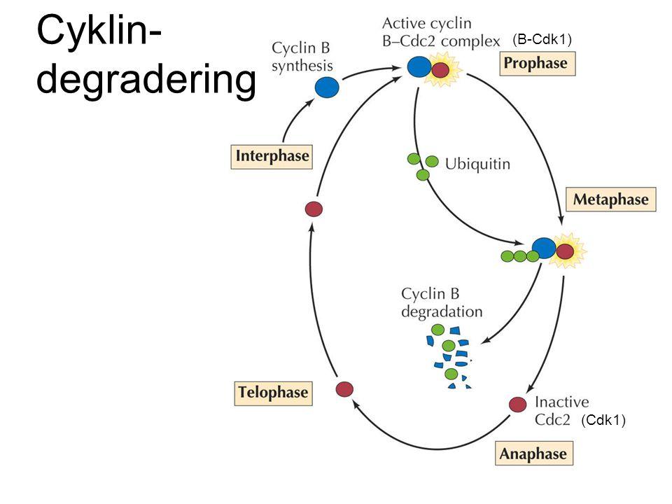 Cyklin- degradering (Cdk1) (B-Cdk1)
