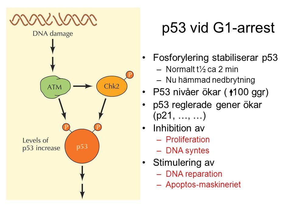 p53 vid G1-arrest Fosforylering stabiliserar p53 –Normalt t½ ca 2 min –Nu hämmad nedbrytning P53 nivåer ökar ( 100 ggr) p53 reglerade gener ökar (p21, …, …) Inhibition av –Proliferation –DNA syntes Stimulering av –DNA reparation –Apoptos-maskineriet