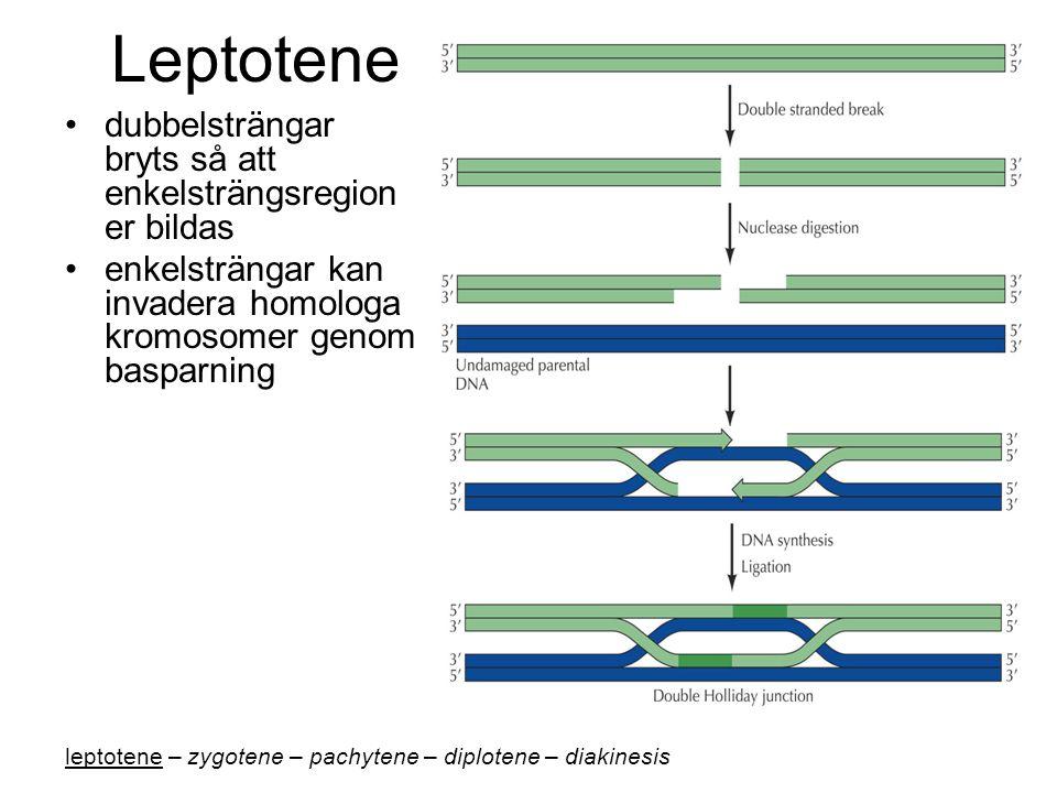 Leptotene dubbelsträngar bryts så att enkelsträngsregion er bildas enkelsträngar kan invadera homologa kromosomer genom basparning leptotene – zygotene – pachytene – diplotene – diakinesis