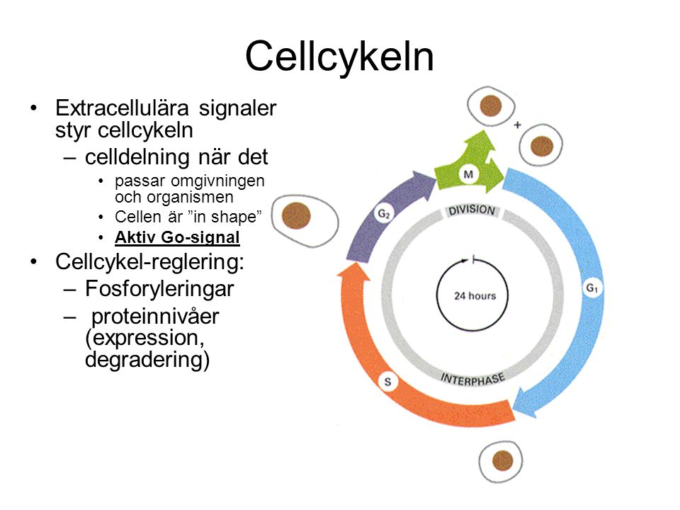 Cellcykeln Extracellulära signaler styr cellcykeln –celldelning när det passar omgivningen och organismen Cellen är in shape Aktiv Go-signal Cellcykel-reglering: –Fosforyleringar – proteinnivåer (expression, degradering)