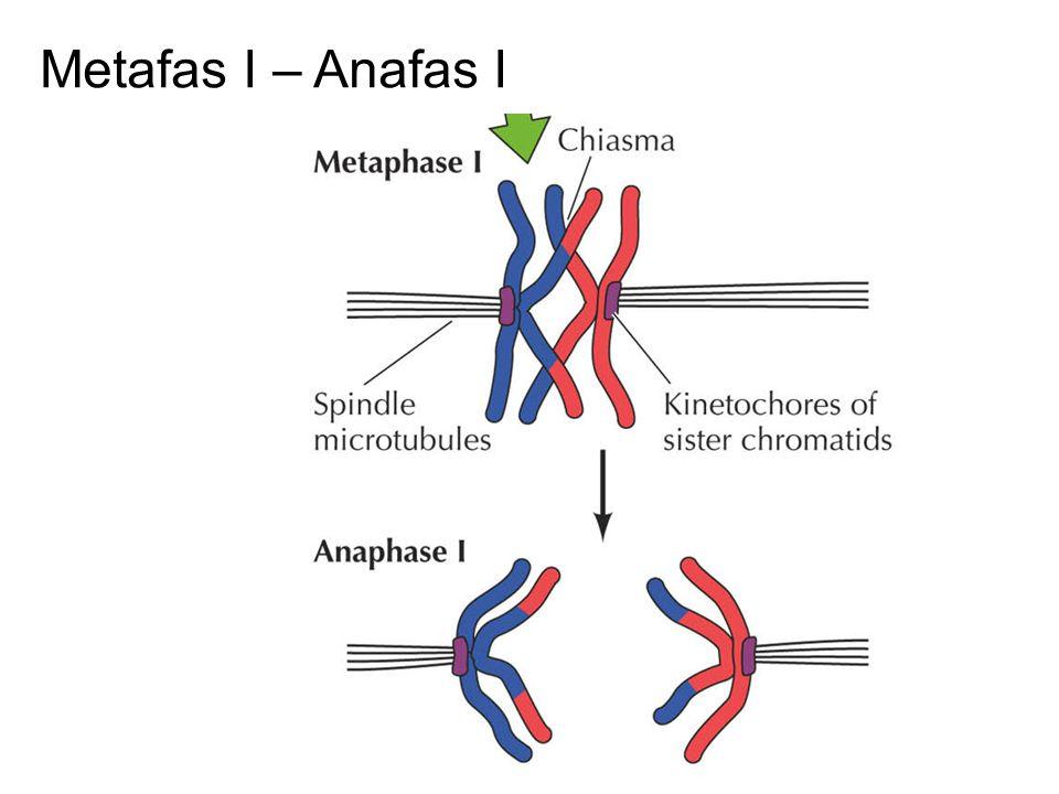 Metafas I – Anafas I