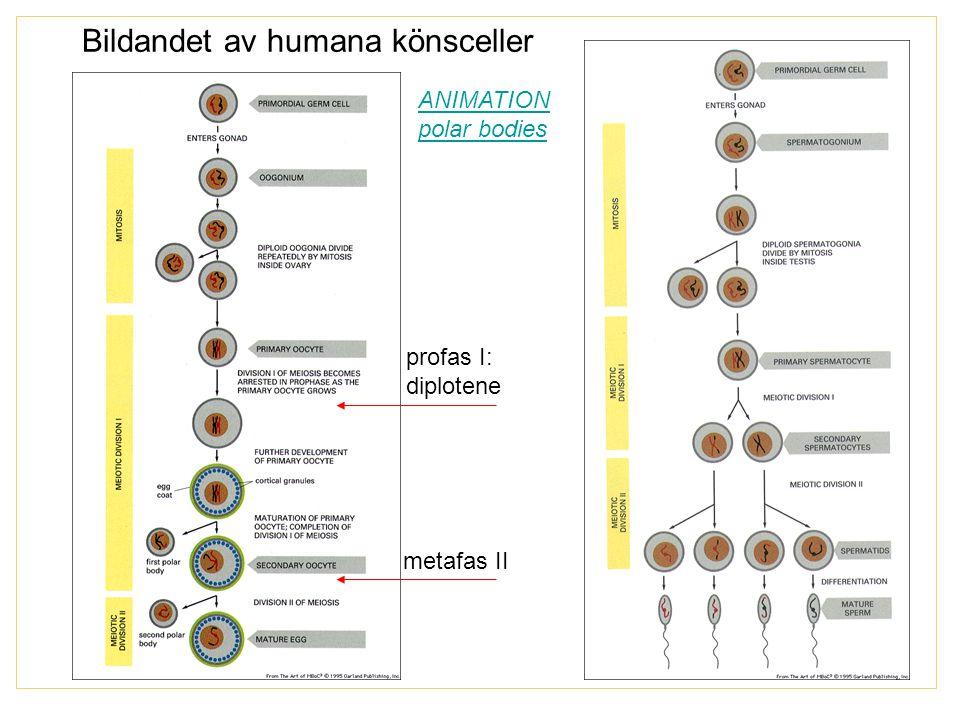 Bildandet av humana könsceller profas I: diplotene metafas II ANIMATION polar bodies