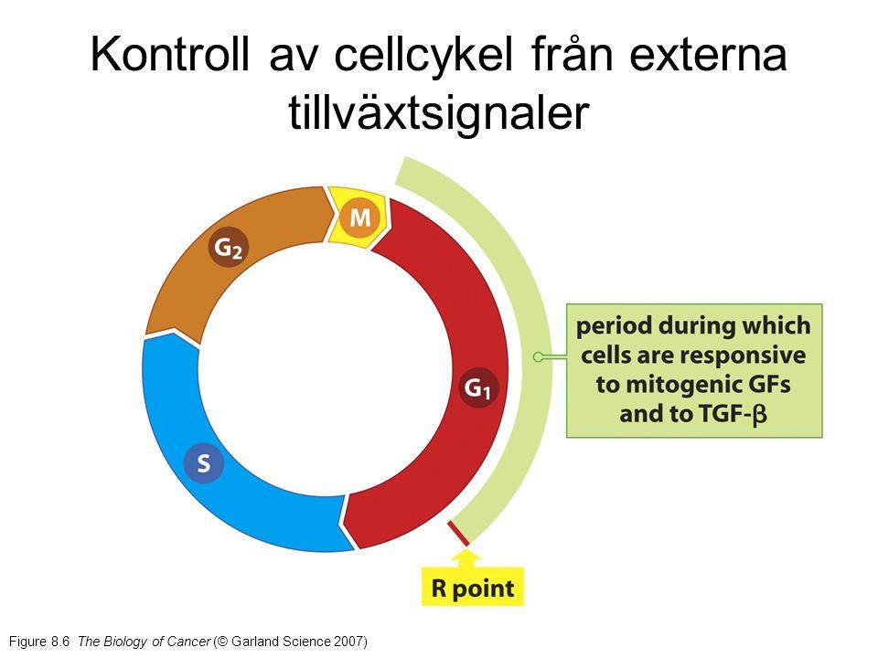 ANIMATION (Maturation promoting factor) Via Cdc25 Via CAK och Wee