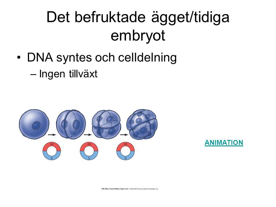 Cyklin-beroende kinaser, CDKs Centrala i cellcykel-reglering –cykliskt aktiverade proteinkinaser, CDKs Aktiverade CDKs –fosforylerar nyckelproteiner som: initierar eller reglerar DNA-replikation, mitos eller cytokinesis CDK:s närvarande under hela cellcykeln –aktiverade vid speciella tidpunkter Av cyklin-bindning, fosforylering/defosforylering, CKI:s – därefter snabbt deaktiverade Cykliner nedbrutna, proteolys, tuggade i proteasome