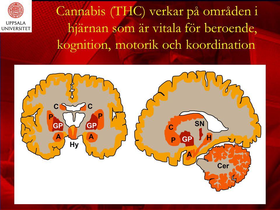 Cannabis försämrar den kognitiva funktionen Cannabis skadar hjärnan och försämrar kognitiva funktioner: -Under det akuta ruset: uppmärksamhet, koncentration, etc -Tre veckor efter upprepad rökning: resonemang, minne, beslutsfattande, abstrakt tänkande - Kroniska effeckter: korttidsminne, reflekterande
