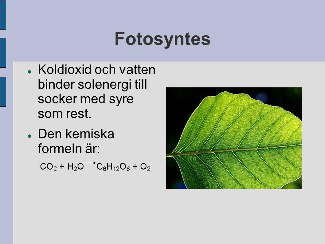 Fotosyntes Koldioxid och vatten binder solenergi till socker med syre som rest. Den kemiska formeln är: CO 2 + H 2 O C 6 H 12 O 6 + O 2