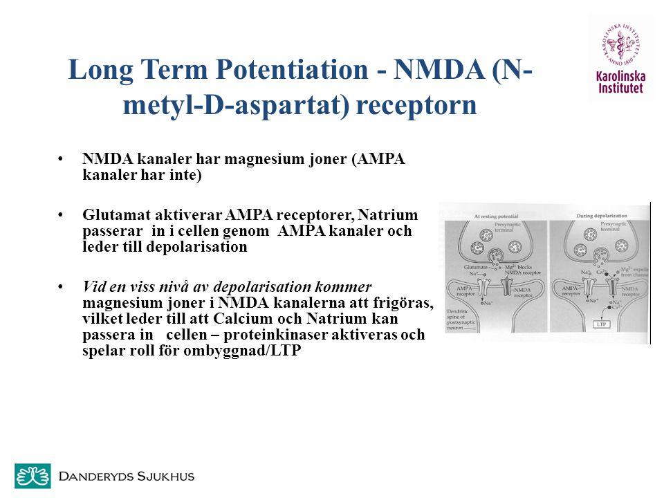 Long Term Potentiation - NMDA (N- metyl-D-aspartat) receptorn NMDA kanaler har magnesium joner (AMPA kanaler har inte) Glutamat aktiverar AMPA recepto