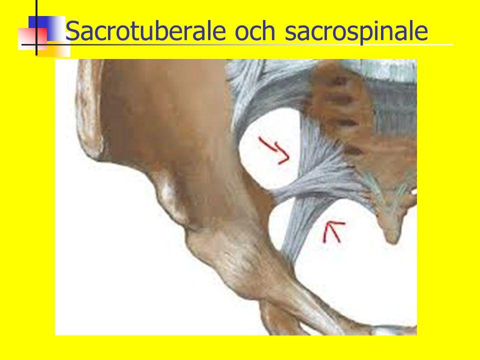Sacrotuberale och sacrospinale
