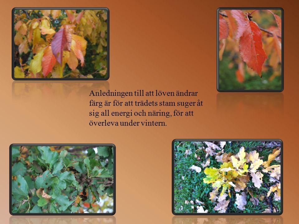 Träden förbereder sig för den kalla vintern. Löven blir gula, orangea och röda. De faller till marken. Kala grenar klarar vinterns kyla.