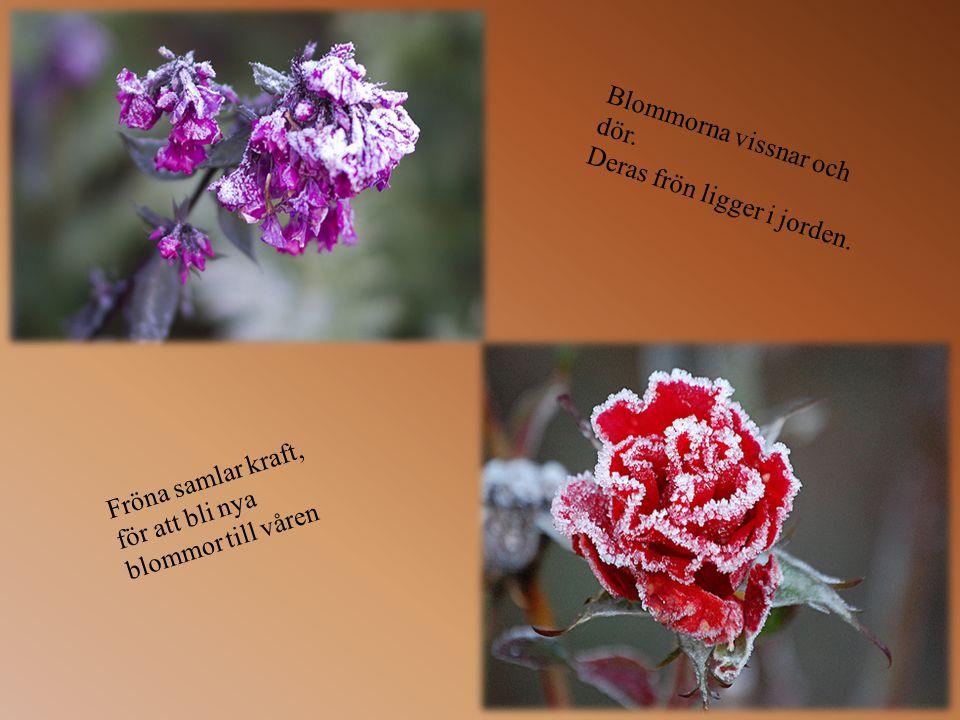 Anledningen till att löven ändrar färg är för att trädets stam suger åt sig all energi och näring, för att överleva under vintern.