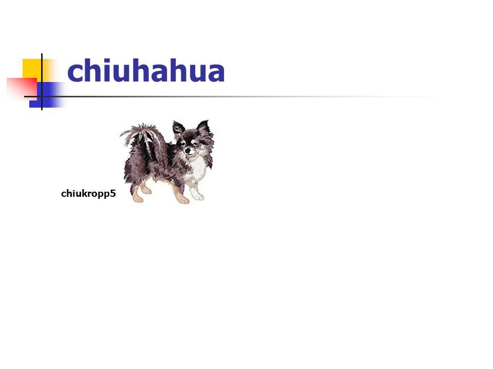 chiuhahua chiukropp5
