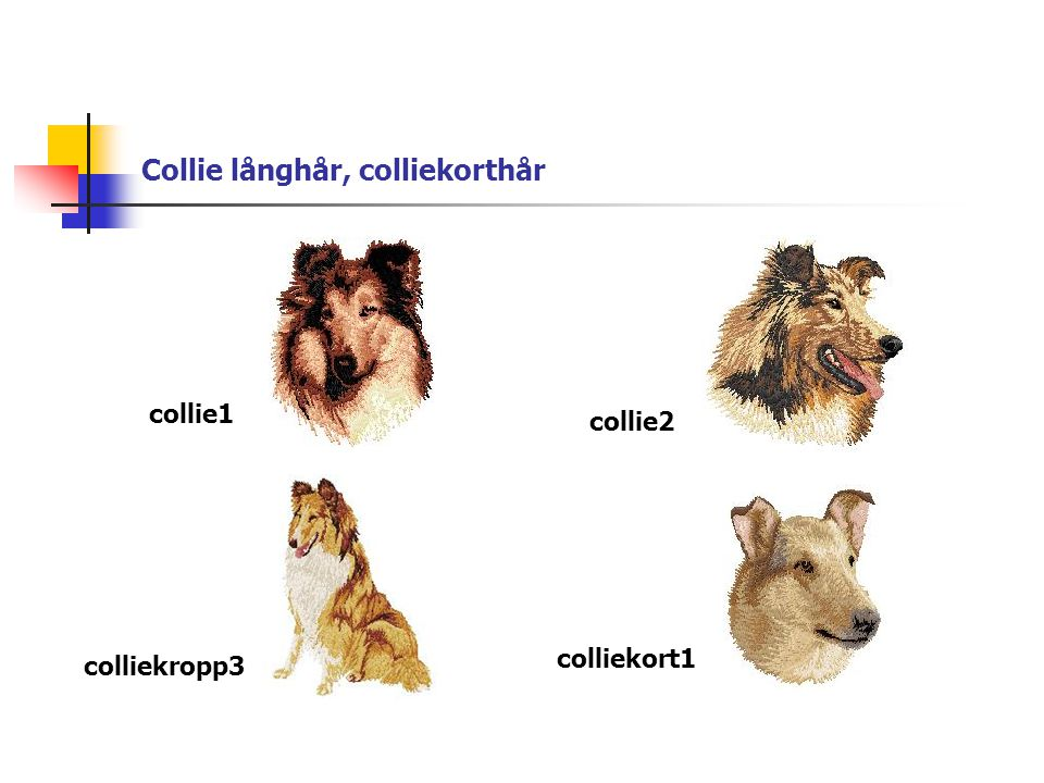 Collie långhår, colliekorthår collie1 collie2 colliekropp3 colliekort1