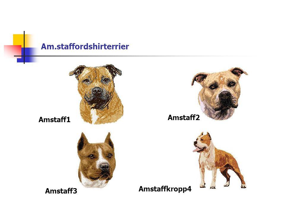 Am.staffordshirterrier Amstaff1 Amstaff2 Amstaff3 Amstaffkropp4