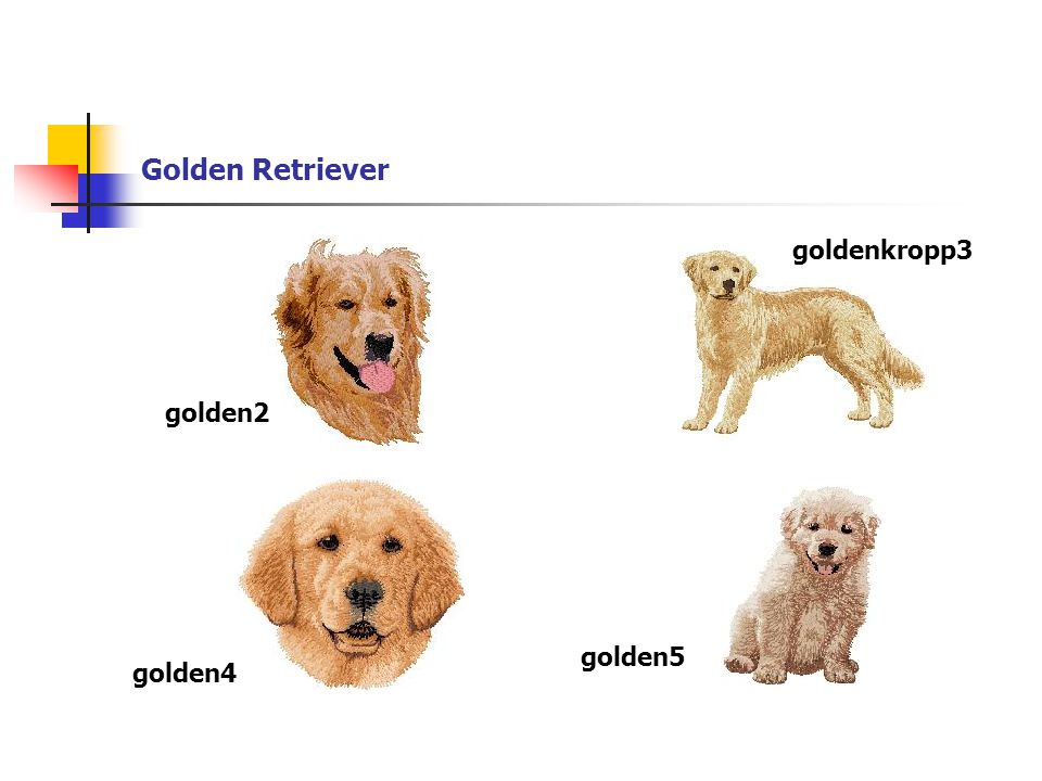 Golden Retriever golden2 goldenkropp3 golden4 golden5