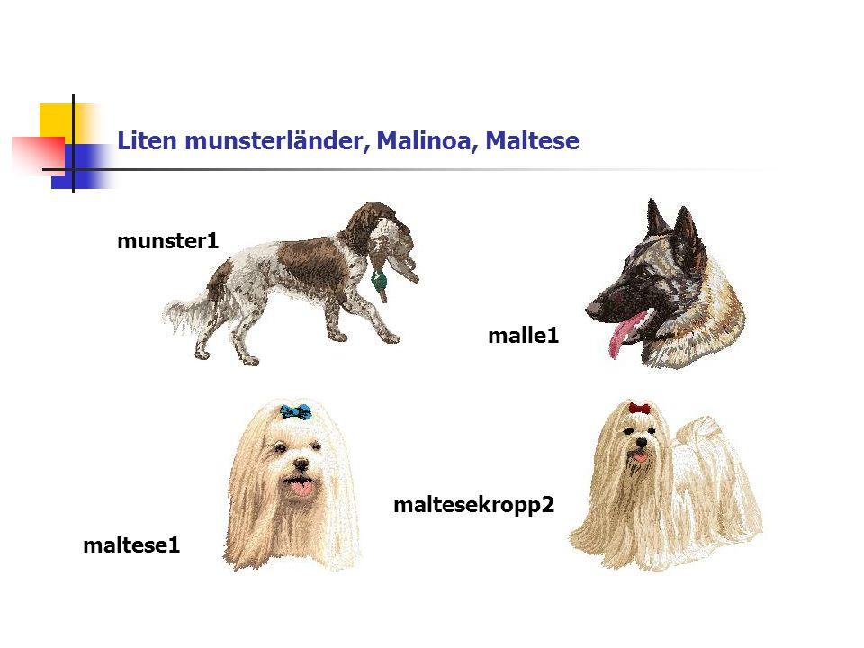 Liten munsterländer, Malinoa, Maltese munster1 malle1 maltese1 maltesekropp2