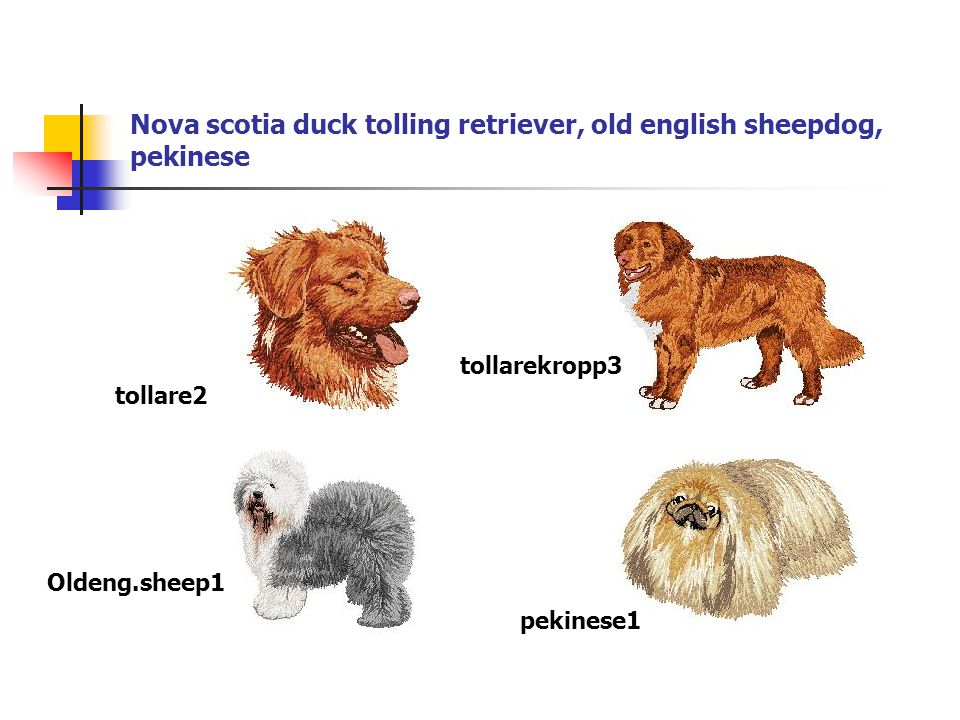 Nova scotia duck tolling retriever, old english sheepdog, pekinese tollare2 tollarekropp3 Oldeng.sheep1 pekinese1