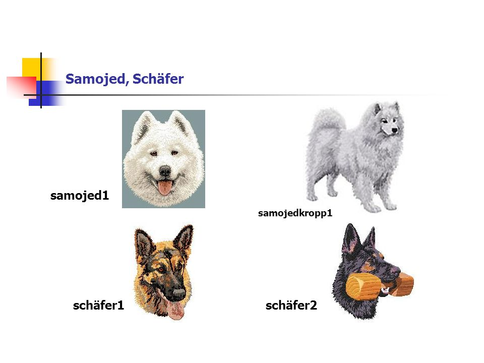 Samojed, Schäfer samojed1 schäfer1schäfer2 samojedkropp1